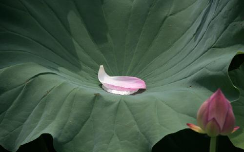 蓮の葉に浮かぶ花びら